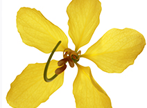 Indian Cassia Flower Extract